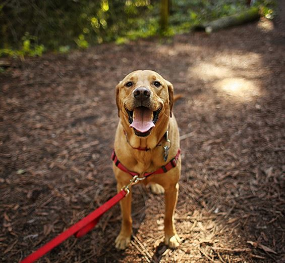 a brown dog with a red leash