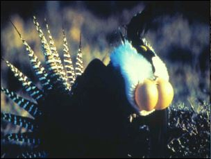 Image of a Sage-Grouse